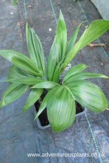 Chamaedorea radicalis bencandlin adventurous plants