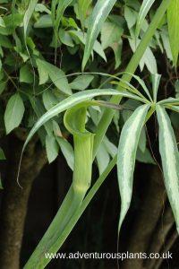 Arisaema consanguineum (variegated) Seeds