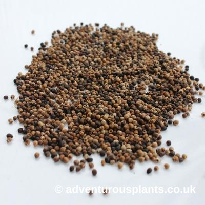 Aroid Seeds