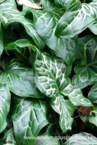 Arum italicum ssp.italicum