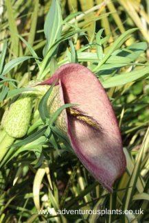 Helicodiceros_muscivorus,bencandlin,adventurousplants