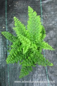 Polystichum_setiferum_Plumosum_Densum,adventurousplants,bencandlin