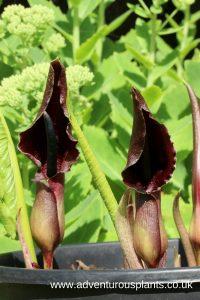 Sauromatum giganteum Seeds