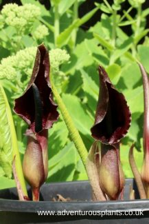 Sauromatum_giganteum_seeds,benandlin,adventurousplants