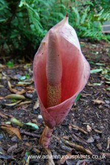 Amorphophallus bulbifer adventurousplants bencandlin