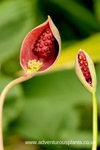 Ariopsis protanthera