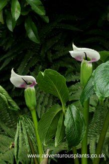 Arisaema murrayi, adventurousplants, bencandlin