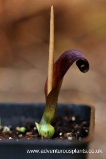 Typhonium rhizomatosum bencandlin adventurousplants