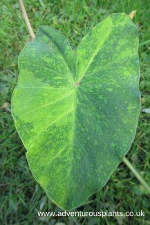 Colocasia Midori Sour_bencandlin_adventurousplants