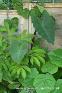 Colocasia Dark Stem benandlin adventurousplants