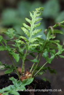 Woodwardia fimbriata bencandlin adventurousplants