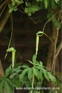 Arisaema heterophyllum Seeds