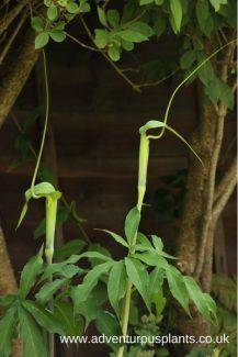 Arisaema heterophyllum Seeds bencandlin adventurousplants
