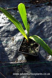 Trachycarpus fortunei x nanus