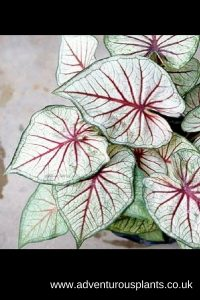 Caladium 'Lai Thai'