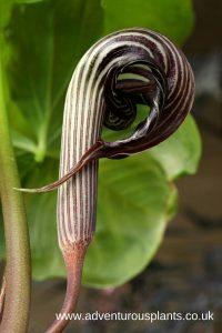 Arisaema franchetianum