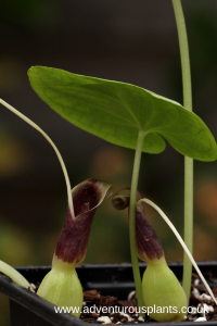 Typhonium circinnatum