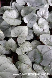 Cyclamen hederifolium 'Silver Cloud'