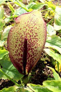 Arum dioscoridis var. syriacum