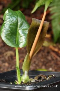 Typhonium rhizomatosum Cambodian Form