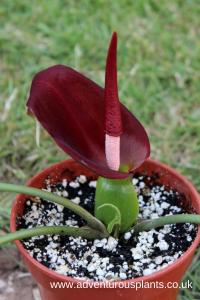 Typhonium varians