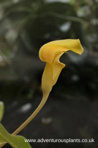 Arisaema maxwellii Seeds