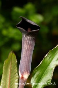Arisaema serratum var.mayebarae Seeds