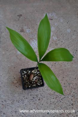 Ceratozamia miqueliana