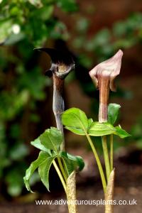 Arisaema ternatipartitum Seeds
