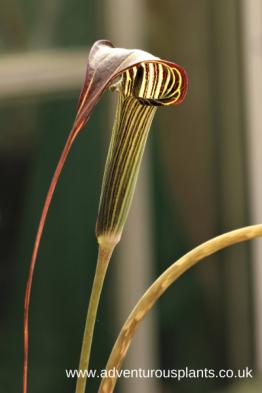 Arisaema formosanum