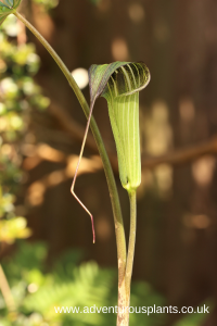 Arisaema consanguineum ssp. kelung-insulare BSWJ6776