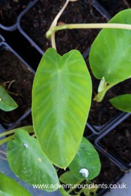 colocasia emerald