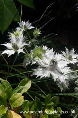 Eryngium giganteum miss willmotts ghost